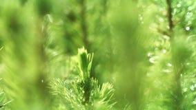 Młodzi krótkopędy sosna z kroplami wodny lśnienie Mokre igły po deszczu zbiory wideo
