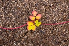 Młodzi krótkopędy truskawki na ziemi zdjęcia royalty free