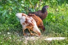 Młodzi kurczaki spożywają jedzenie w ogródzie farm_ zdjęcia stock