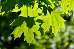 Młodzi liść klonowy Zdjęcie Stock