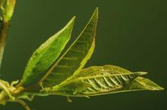 Młodzi liście Zdjęcia Stock