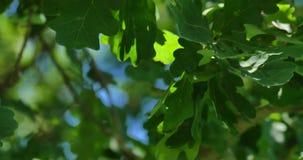 Młodzi liście dąb na wiatrze zbiory wideo