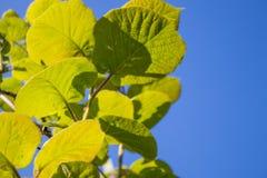 Młodzi liście kiwi roślina przeciw niebieskiemu niebu Zielony i błękitny tło z kopii przestrzenią Natura, środowisko, upr obraz stock