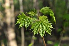 Młodzi liście klonowi na gałąź Zdjęcie Stock