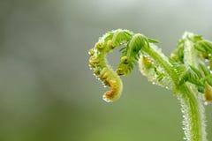 Młodzi liście paproć zielenieją z wodnymi kropelkami fotografia royalty free