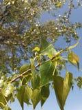 Młodzi liście topola Fotografia Royalty Free