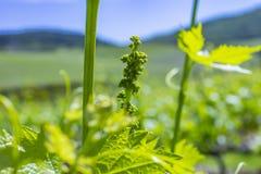 Młodzi liście winogrona w świetle słonecznym przy zmierzchem Młody kwiatostan winogrona na winogradu zakończeniu Gronowy winograd zdjęcia stock
