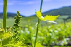 Młodzi liście winogrona w świetle słonecznym przy zmierzchem Młody kwiatostan winogrona na winogradu zakończeniu Gronowy winograd zdjęcia royalty free