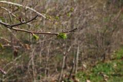 Młodzi liście zaczynają rosnąć zdjęcie stock