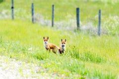 Młodzi lisy bawić się w trawie Obraz Stock
