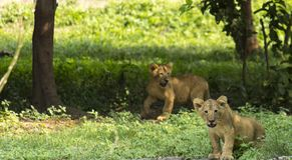 Młodzi lwów lisiątka dzicy zdjęcia stock