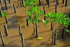 Młodzi mangrowe drzewni Obrazy Stock