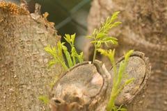 Młodzi Moringa oleifera krótkopędy Fotografia Stock