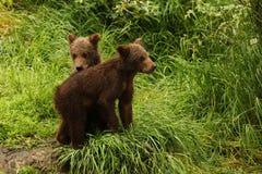 Młodzi niedźwiedzie Obraz Stock