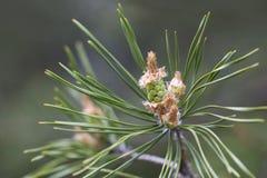 Młodzi pączki sosna na gałąź, wiosna zielenieją naturę Zdjęcia Stock