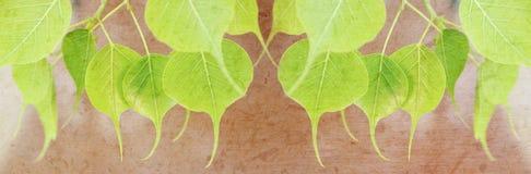 Młodzi pipal zieleni liście z morwą tapetują teksturę dla tytułowego baru fotografia stock