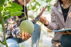 M?odzi rolniczy badacze trzymaj? wielkiego melon w ich r?kach z u?miech twarz? Ten gospodarstwo rolne jest organicznie uprawia? z zdjęcie stock