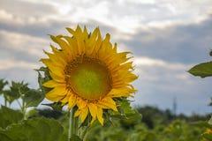 Młodzi słoneczniki Zdjęcia Royalty Free