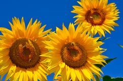 Młodzi słoneczniki kwitną w polu przeciw niebieskiemu niebu Fotografia Royalty Free