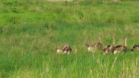 Młodzi strusie w Tarangire parku narodowym zbiory wideo