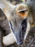 Młodzi Wallaby ucho fotografia stock