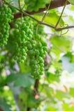 Młodzi winogrady i luksusowe wiązki zieleni winogrona zdjęcie royalty free