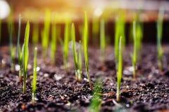 Młodzi wiosna krótkopędy na plantaci Zdjęcie Royalty Free