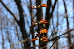 Młodzi wiosna liście rozszerza słońce Zdjęcia Royalty Free