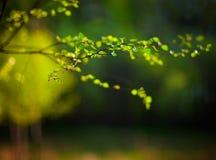 Młodzi wiosny brzozy liście Zdjęcia Stock