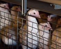 Młodzi zwierzęcia broiler kurczaki dla mięsa, drób, w górę, kurczaka gospodarstwo rolne, przemysłowy obrazy stock