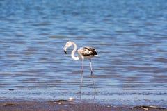 młodzieżowi flamingi obrazy stock