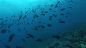 Młoteczkowej głowy rekin nurkuje Podwodnego Wideo Galapagos wysp Pacyficznego ocean zbiory