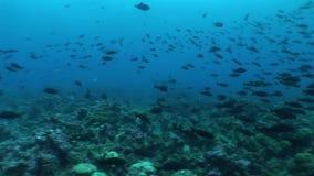 Młoteczkowej głowy rekin nurkuje Podwodnego Wideo Galapagos wysp Pacyficznego ocean zdjęcie wideo