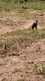 M. écureuil Images libres de droits