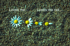M'aime? M'aime pas? Plumaison des pétales des fleurs pour répondre à la question M'aime pas Photographie stock