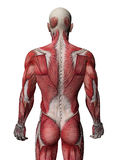 mänsklig muskelröntgenstråle Royaltyfria Bilder