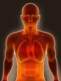 mänskliga lungs Arkivfoto