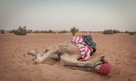 M. Camel Royalty-vrije Stock Foto