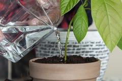 M??czyzna w przejrzystych r?kawiczka przeszczepach stwarza ognisko domowe avocado zdjęcia stock