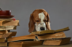 mądry pies Obrazy Royalty Free