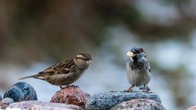 M. en Mevr. House Sparrow Royalty-vrije Stock Foto's