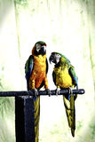 M. en Mevr. Macaw Royalty-vrije Stock Foto