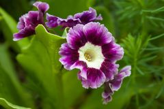 Royal primrose or primula in the garden royalty free stock images
