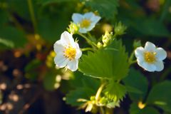 Strawberry flowers in bright sunlight on a green background royalty free stock photos