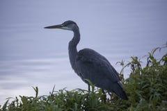 M. Grey Heron image libre de droits