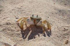 M. Les crabes fait des affaires à la plage sauvage Images libres de droits