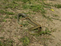 1.7 m long Dolichophis caspius Royalty Free Stock Photo