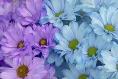M?ng--f?rgade krysantemum bukett Purpurfärgade blåa blommor playnig f?r bakgrundsblommalampa royaltyfria foton