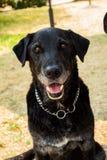 m?nnlicher Hund der Misch-Zucht in seinem Erwachsensein stockbild