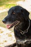 m?nnlicher Hund der Misch-Zucht in seinem Erwachsensein stockfoto